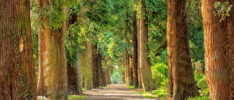 Trees alongside a pathed avenue.
